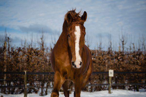 Nance Fotografie_paardenfotografie_Don_sneeuw-2